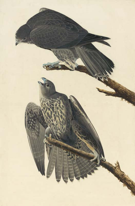 Gyrfalcon, Havell pl. 196