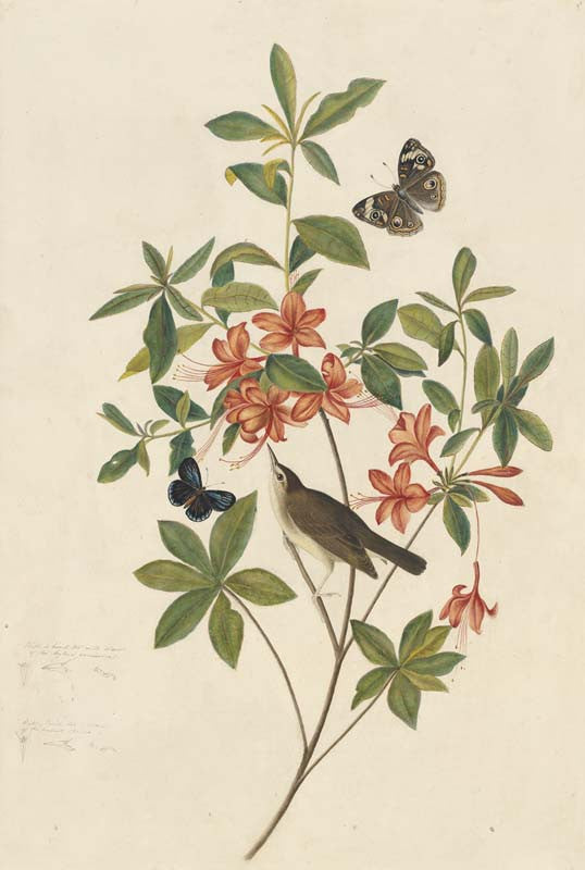 Swainson's Warbler, Havell pl. 198