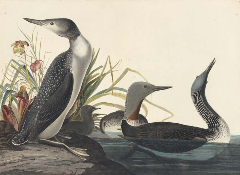 Red-throated Loon, Havell pl. 202