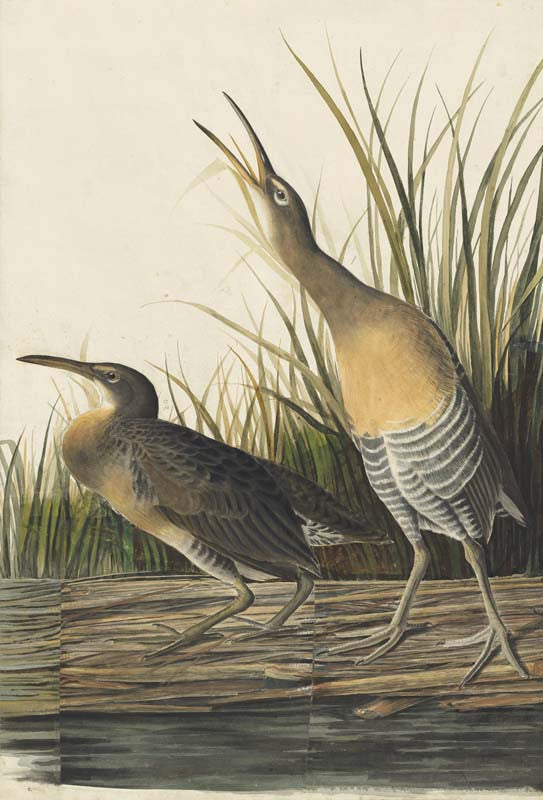 Clapper Rail, Havell pl. 204