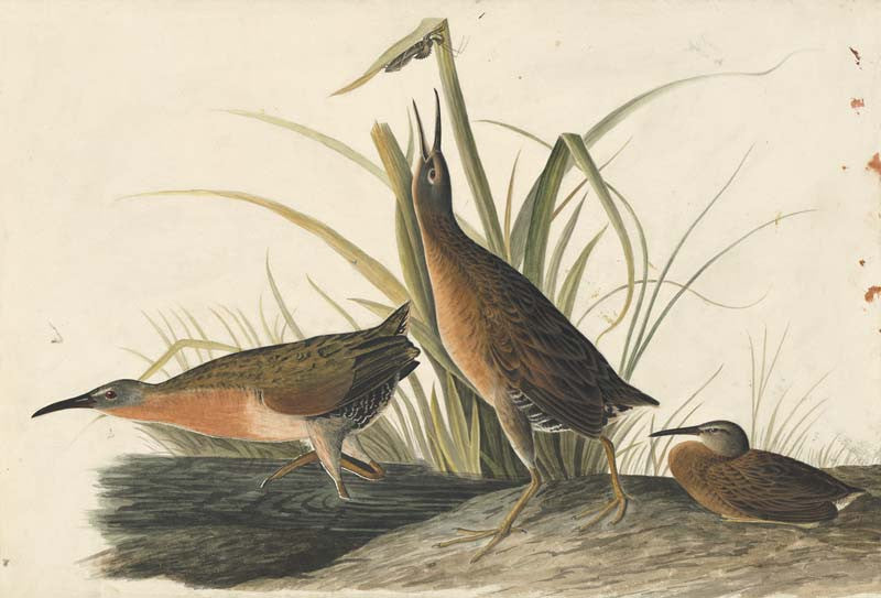 Virginia Rail, Havell pl. 205