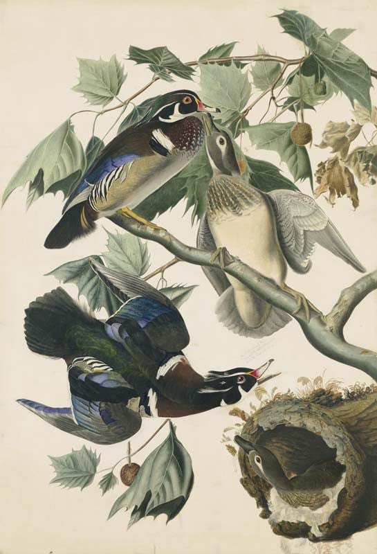 Wood Duck, Havell pl. 206