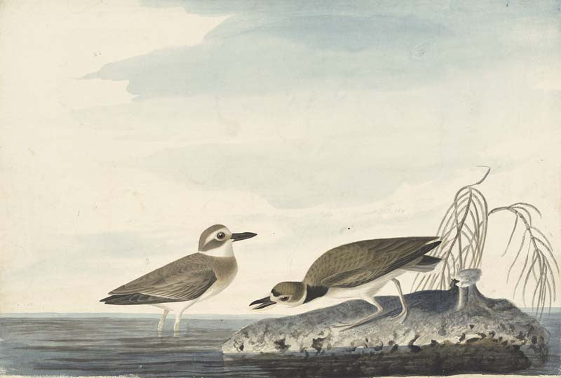 Wilson's Plover, Havell pl. 209