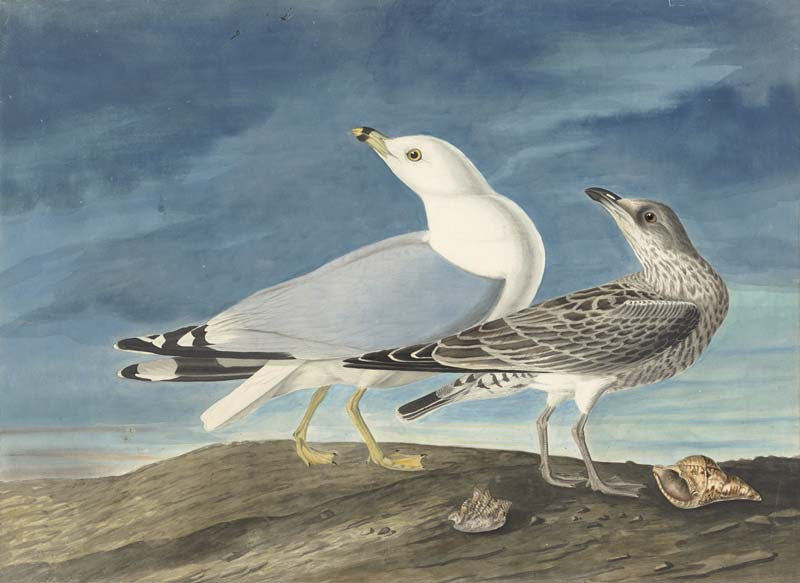 Ring-billed Gull, Havell pl. 212