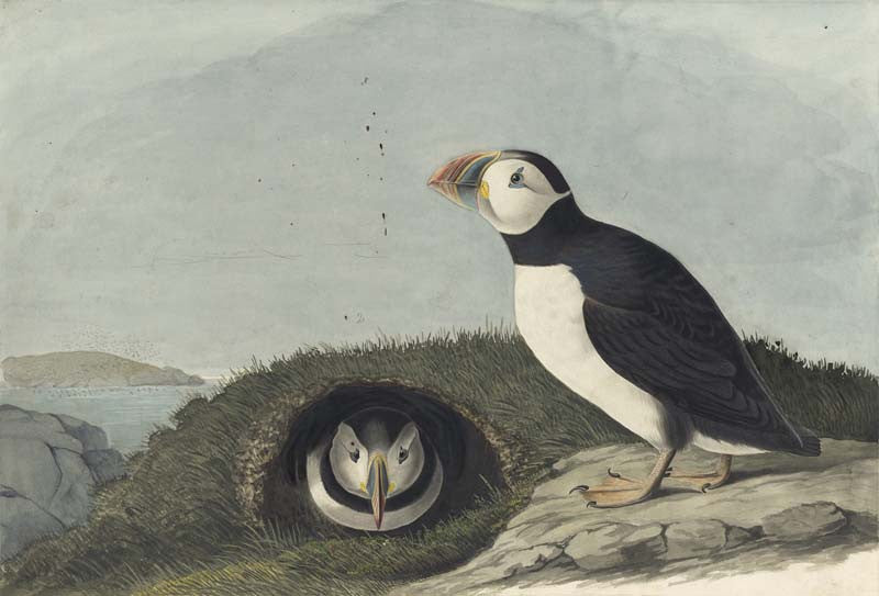 Atlantic Puffin, Havell pl. 213
