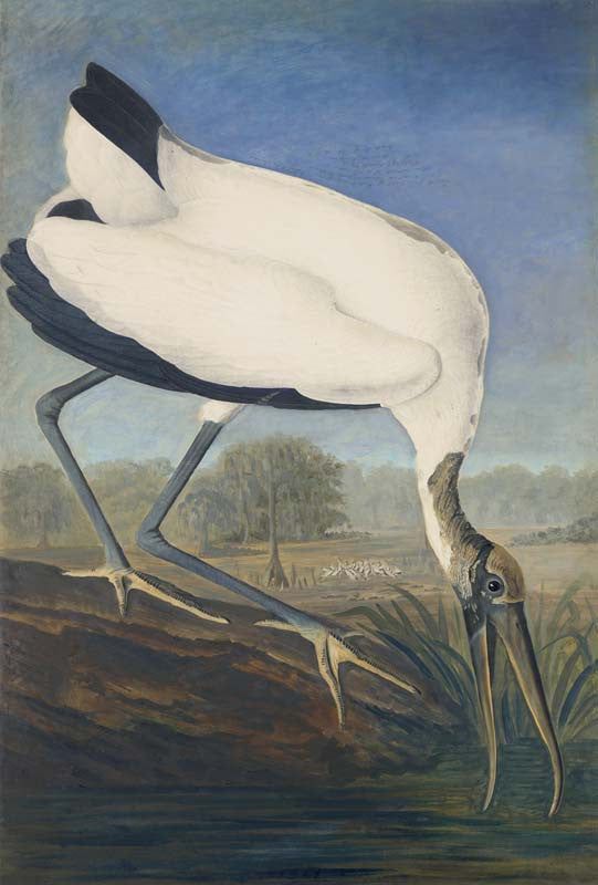 Wood Stork, Havell pl. 216