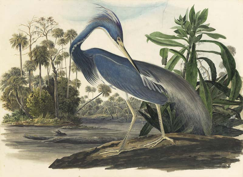 Tricolored Heron, Havell pl. 217