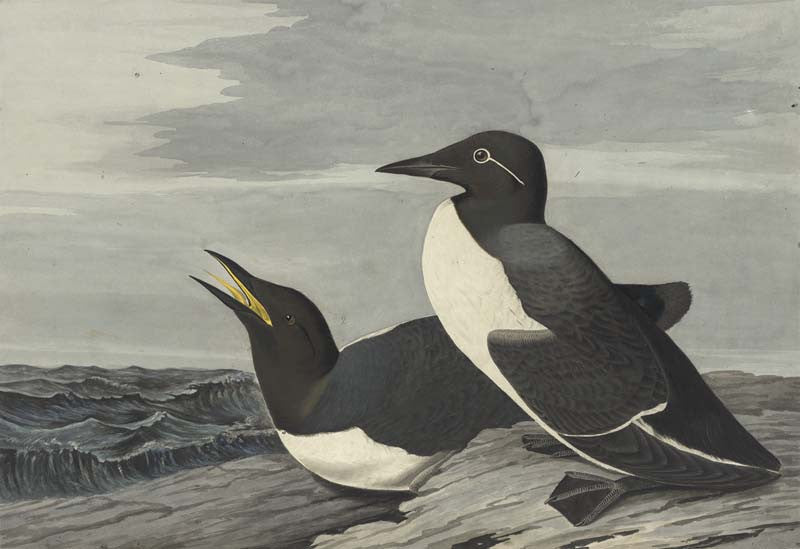 Common Murre, Havell pl. 218