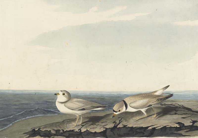 Piping Plover, Havell pl. 220