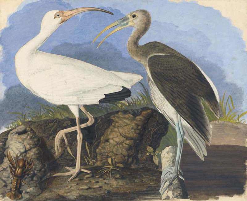 White Ibis, Havell pl. 222