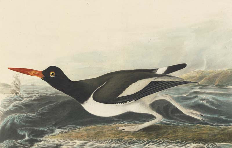 American Oystercatcher, Havell pl. 223