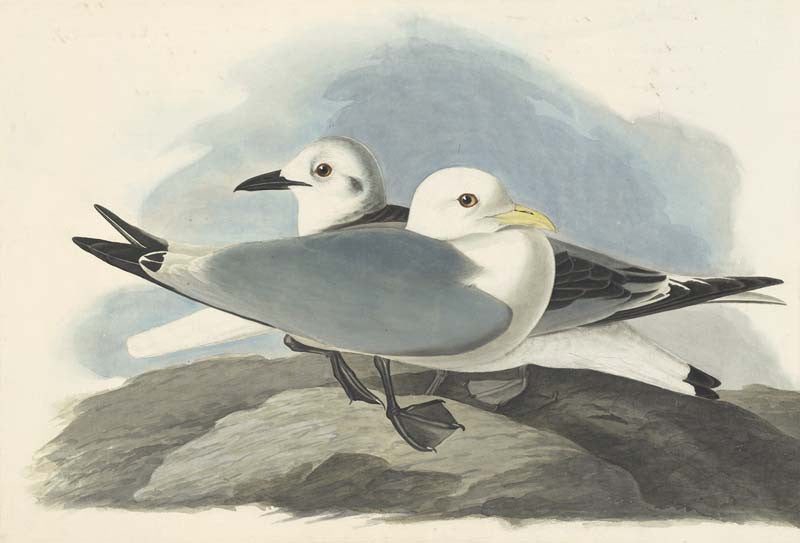 Black-legged Kittiwake, Havell pl. 224
