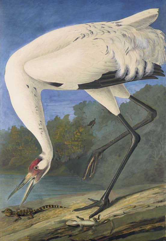 Whooping Crane, Havell pl. 226