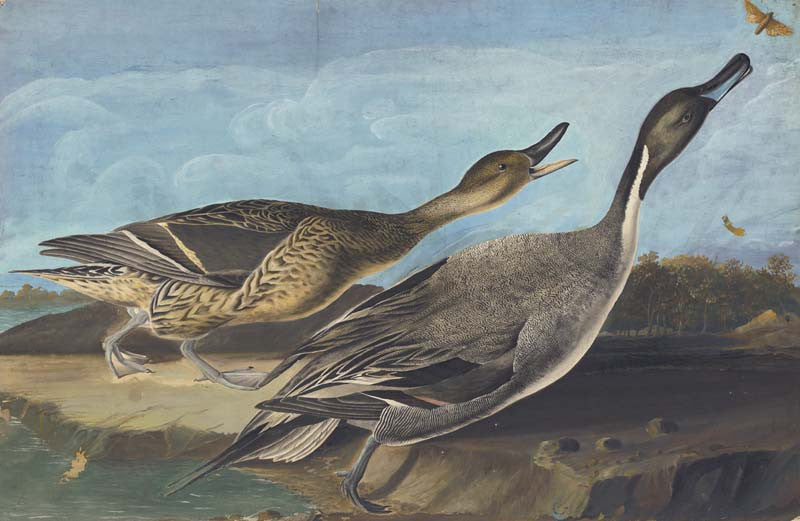 Northern Pintail, Havell pl. 227