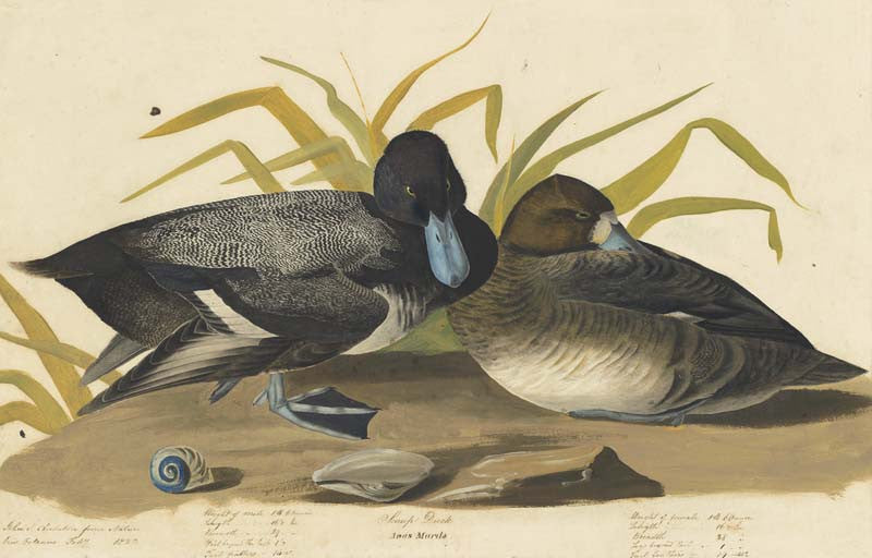 Greater Scaup, Havell pl. 229