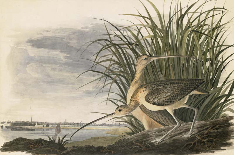 Long-billed Curlew, Havell pl. 231