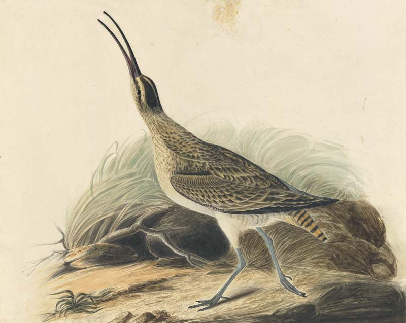Whimbrel, Havell pl. 237