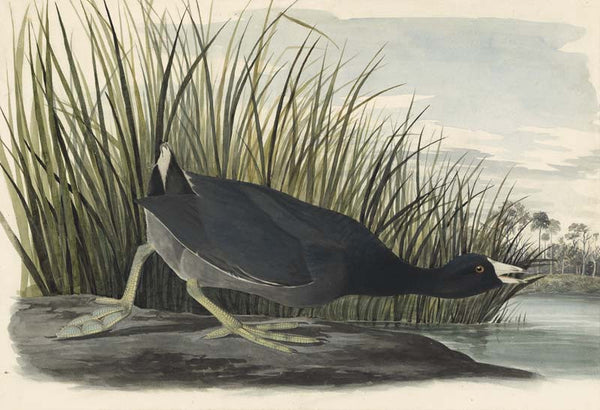 American Coot, Havell pl. 239