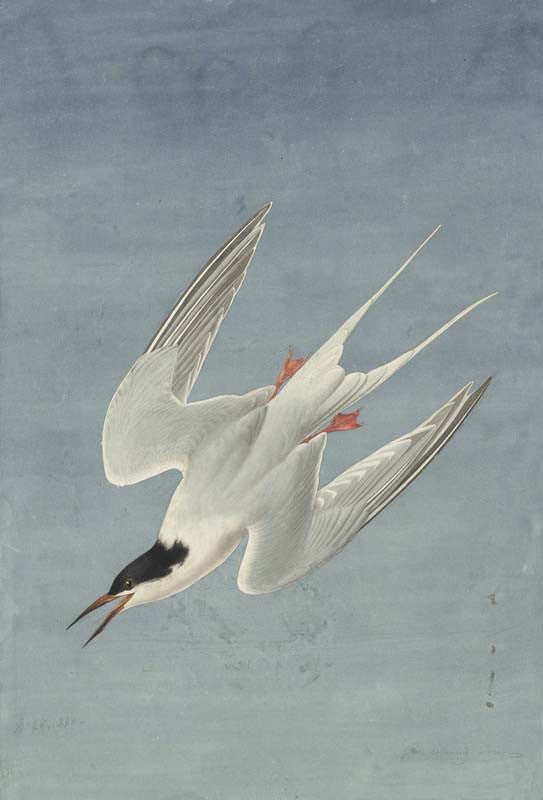 Roseate Tern, Havell pl. 240