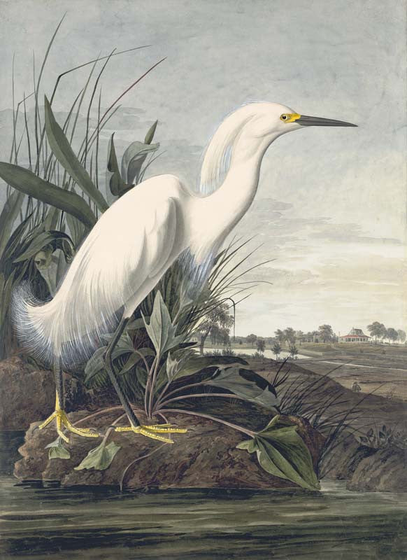 Snowy Egret, Havell pl. 242