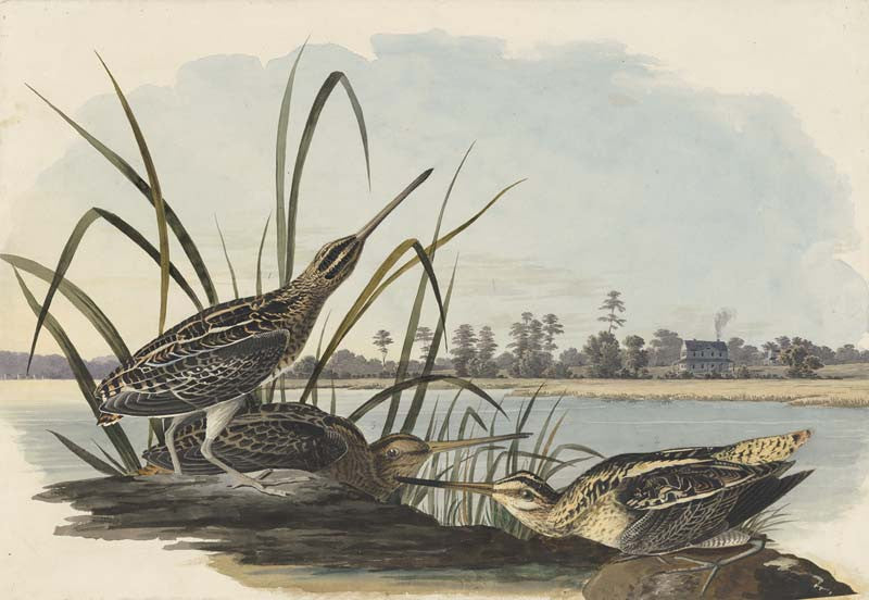Wilson's Snipe, Havell pl. 243