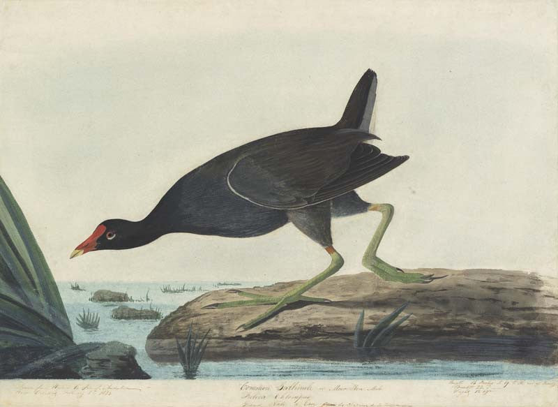 Common Gallinule, Havell pl. 244
