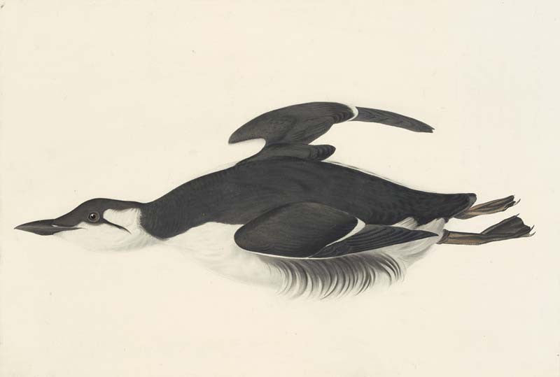 Thick-billed Murre, Havell pl. 245