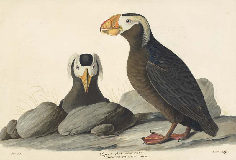 Tufted Puffin, Havell pl. 249