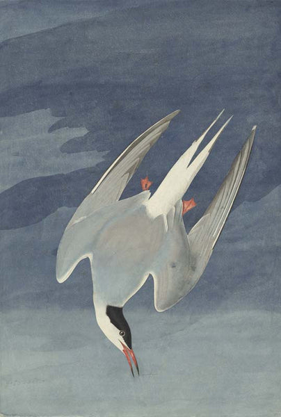 Arctic Tern, Havell pl. 250