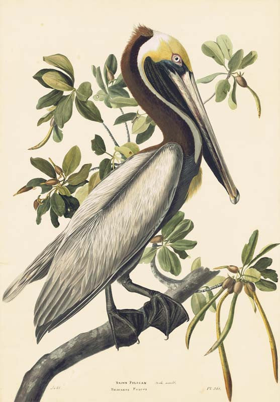 Brown Pelican, Havell pl. 251