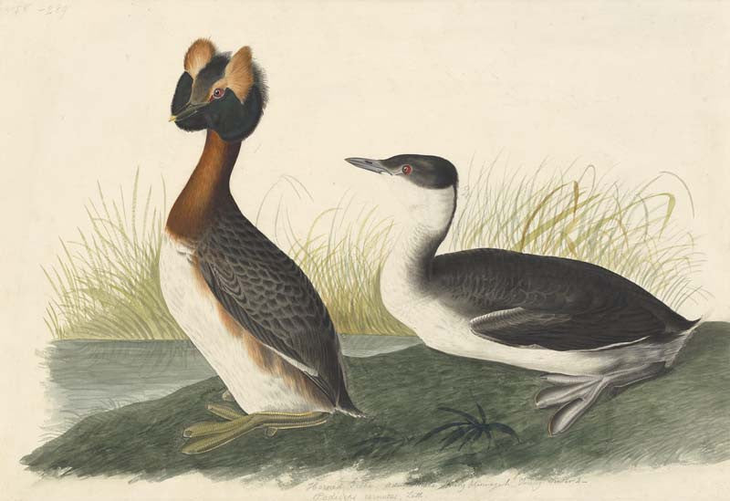 Horned Grebe, Havell pl. 259