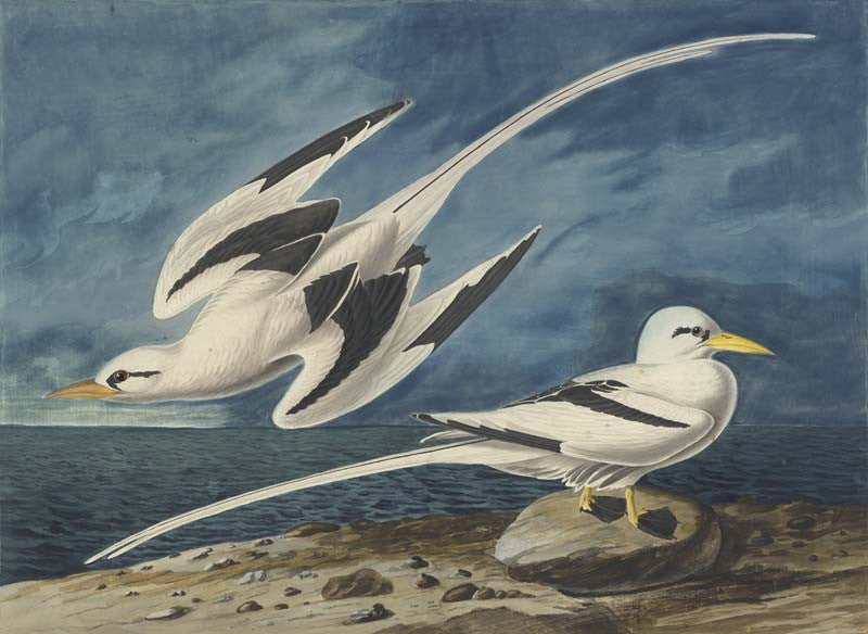 White-tailed Tropicbird, Havell pl. 262