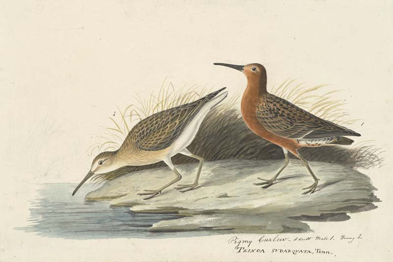 Curlew Sandpiper, Havell pl. 263