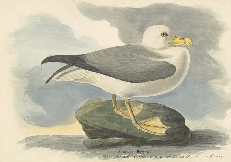Northern Fulmar, Havell pl. 264