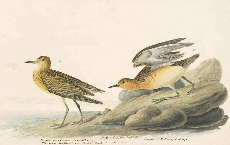 Buff-breasted Sandpiper, Havell pl. 265