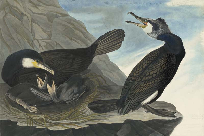Great Cormorant, Havell pl. 266