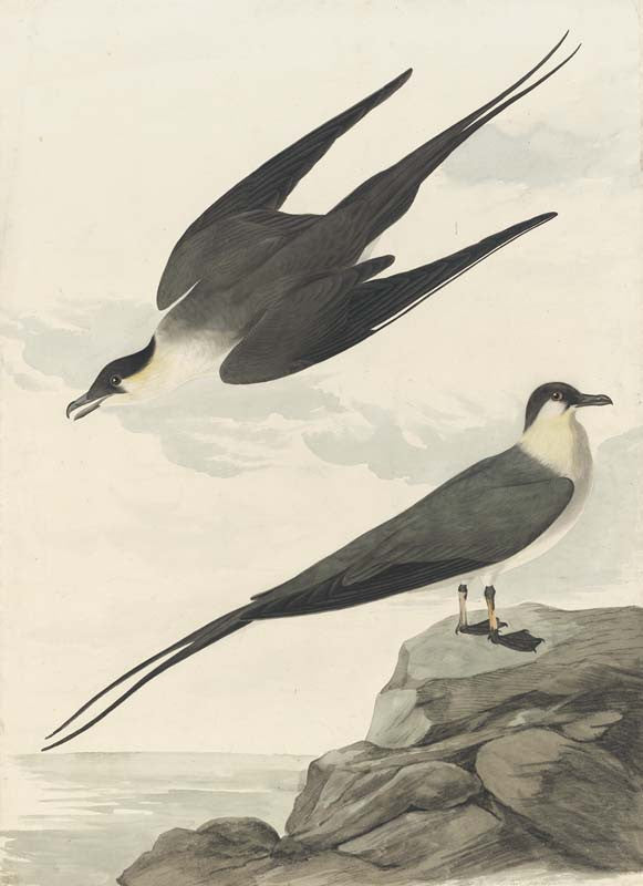 Long-tailed Jaeger, Havell pl. 267