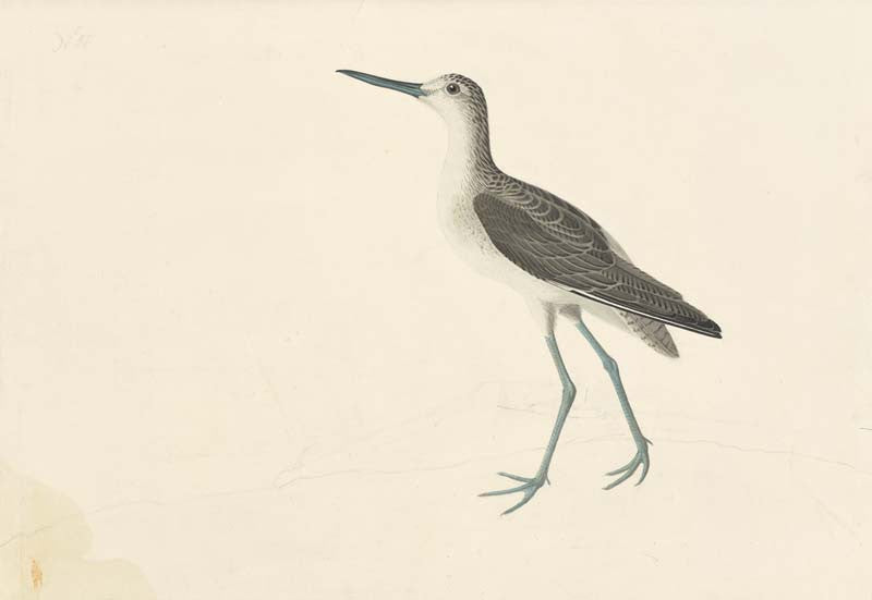 Common Greenshank, Havell pl. 269