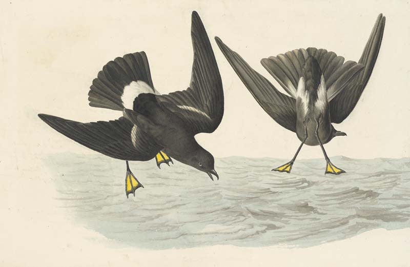 Wilson's Storm-Petrel, Havell pl. 270