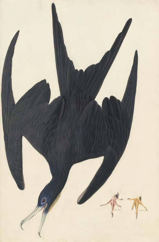 Magnificent Frigatebird, Havell pl. 271