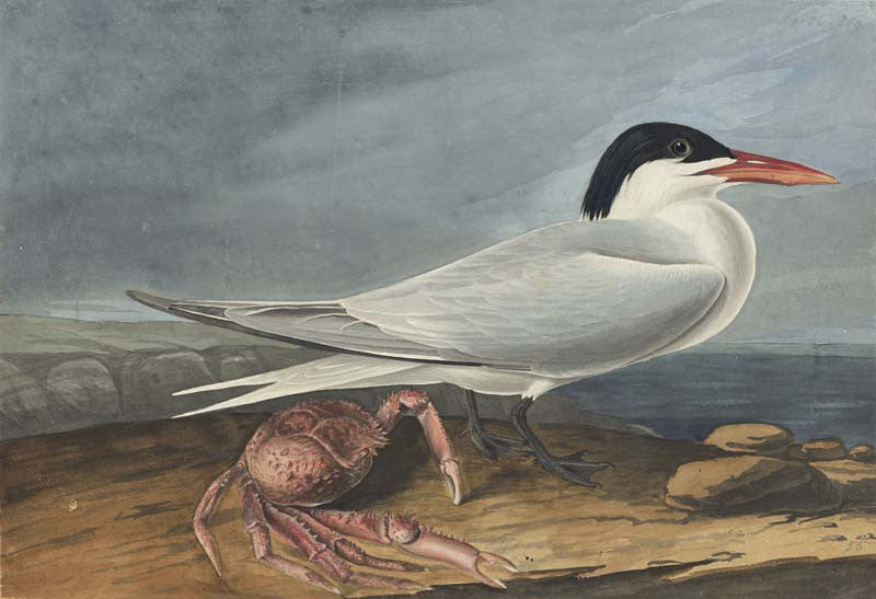 Royal Tern, Havell pl. 273