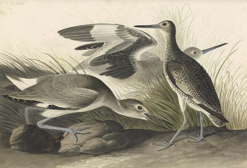 Willet, Havell pl. 274