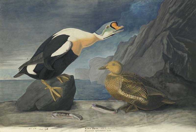 King Eider, Havell pl. 276