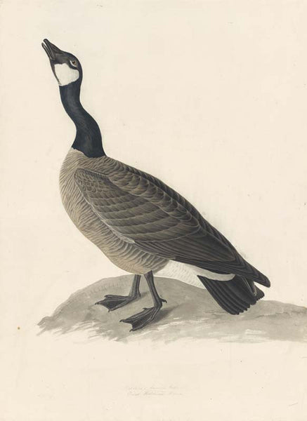 Canada Goose, Havell pl. 277