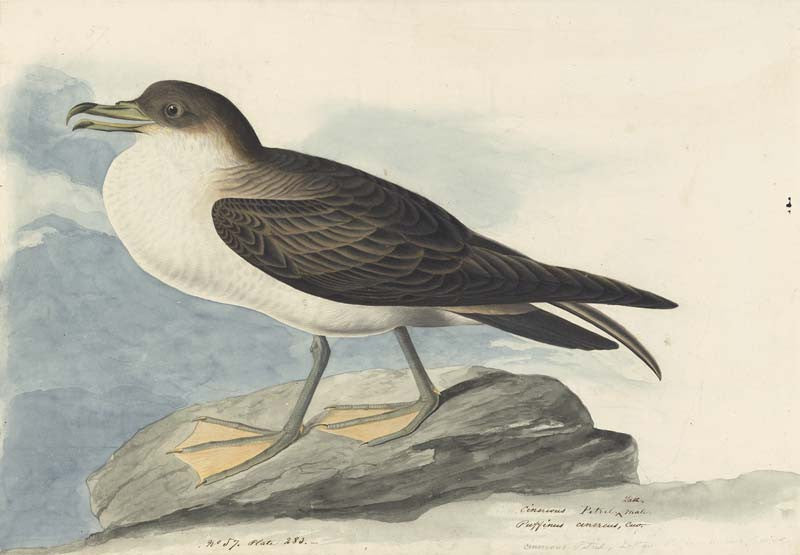 Great Shearwater, Havell pl. 283