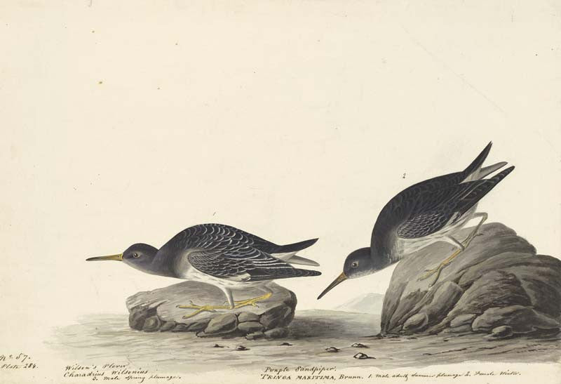 Purple Sandpiper, Havell pl. 284