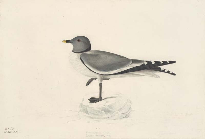 Sabine's Gull, Havell pl. 285