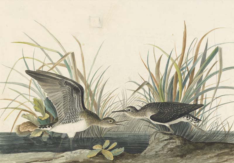 Solitary Sandpiper, Havell pl. 289