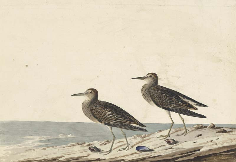 Pectoral Sandpiper, Havell pl. 294