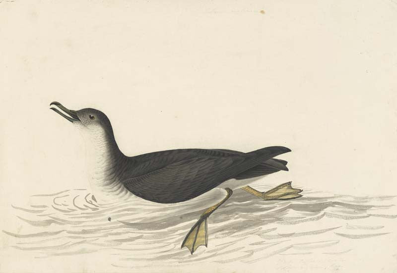 Manx Shearwater, Havell pl. 295